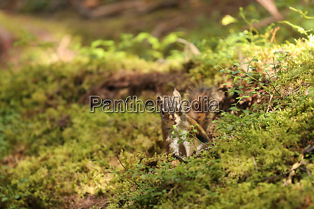 squirrel seated in the moss