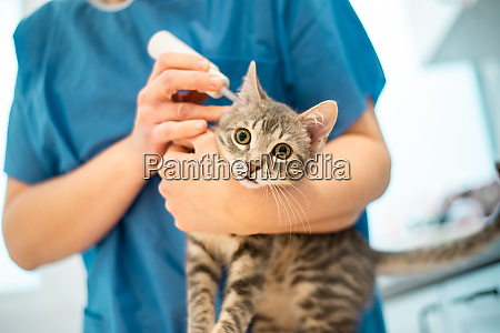 female veterinarian doctor uses ear drops