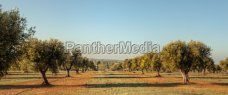 young olive trees grove in alentejo