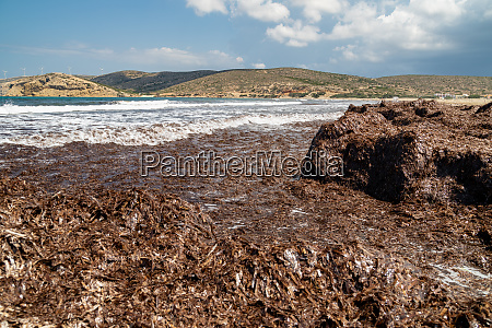 beach section with brown algae off
