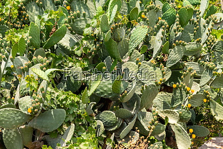 cactus on rhodes island greece