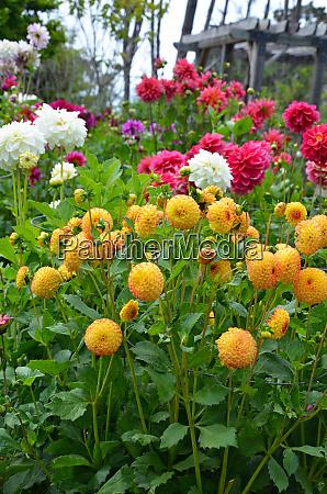colorful dahlia garden in summer