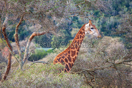 giraffe in a thorn tree