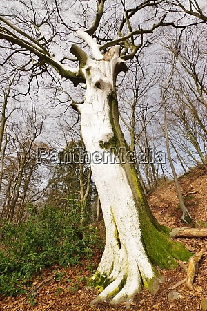 natural monument whitebeech tree bielefeld eastwestphalia