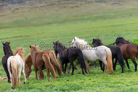a herd of icelandic horses in