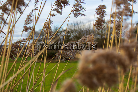 reed blossom in spring wind blurred