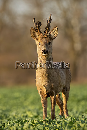 roe deer stag at sunset with