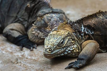the cuban rock iguana cyclura nubila