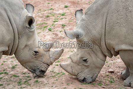 southern white rhinoceros ceratotherium simum simum