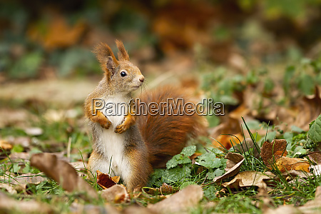 attentive, red, squirrel, with, fluffy, tail - 28175098