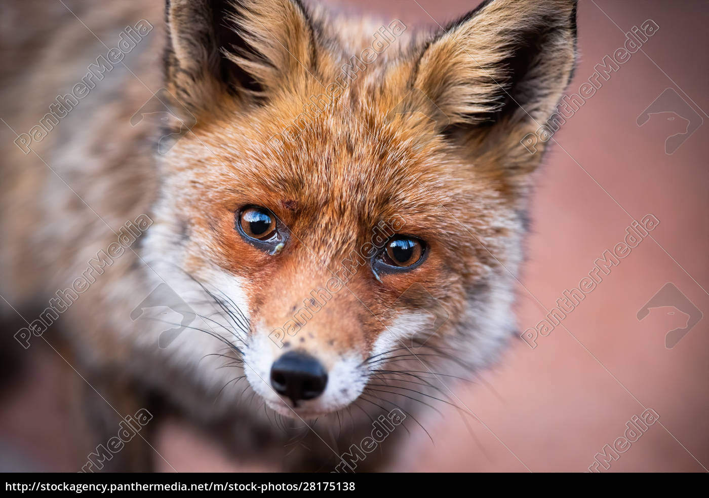 close-up, of, curious, red, fox, looking - 28175138