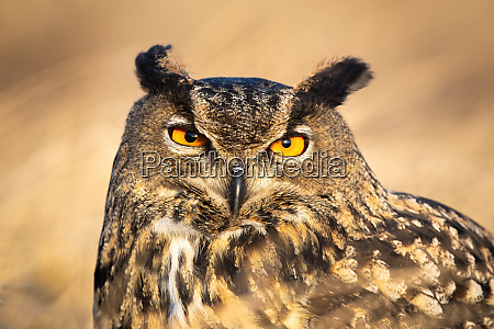close-up, of, large, wild, owl, looking - 28175101
