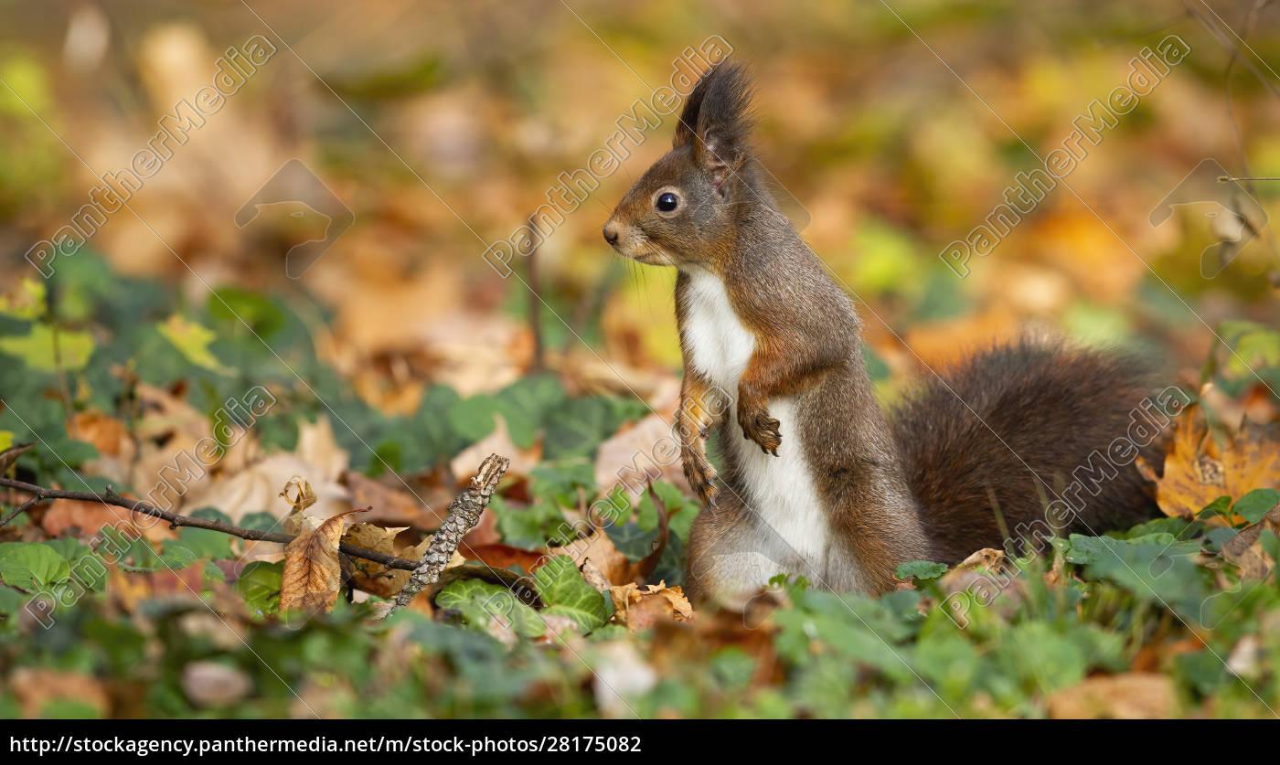 cute, red, squirrel, , sciurus, vulgaris, , standing - 28175082