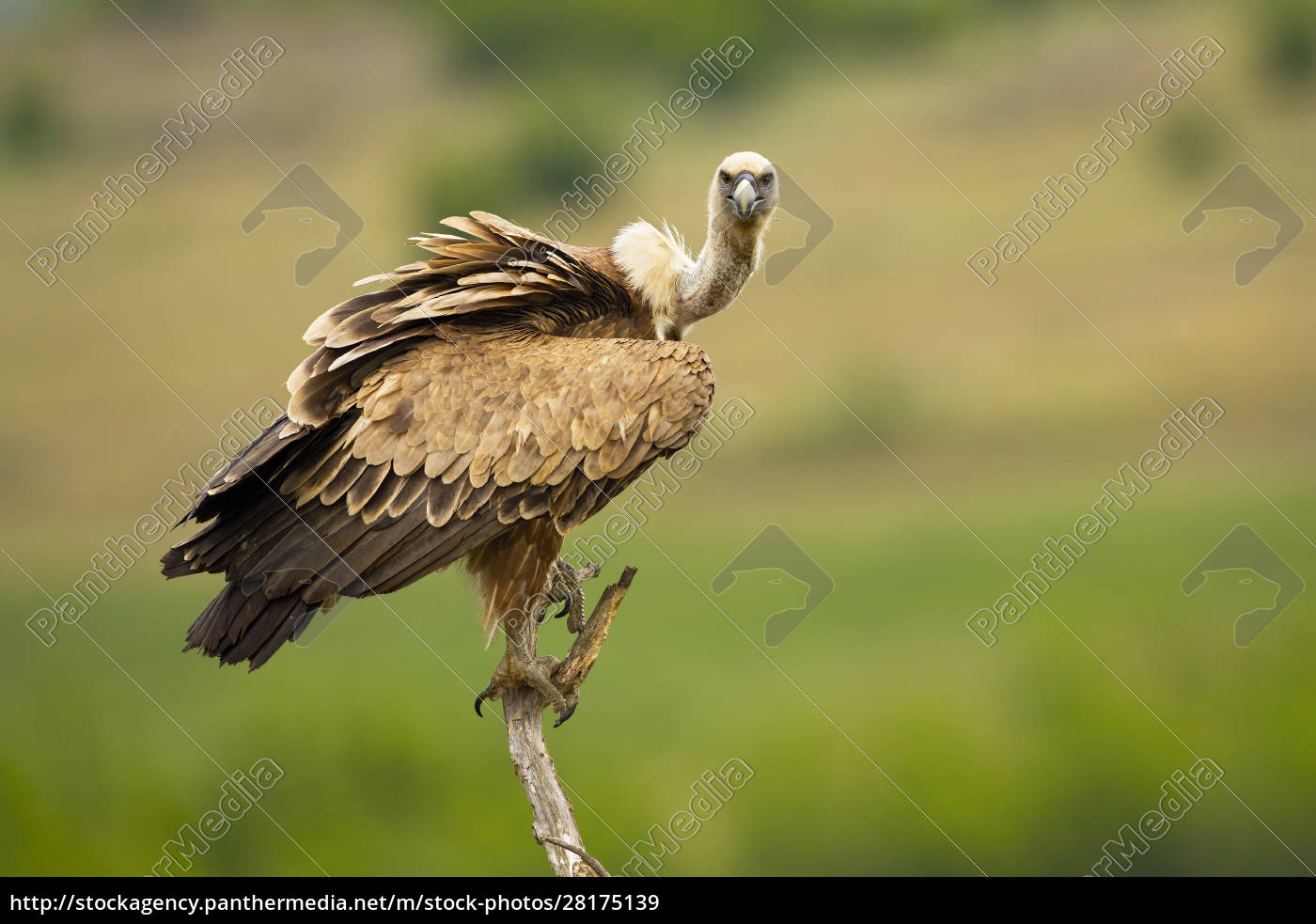 griffon, vulture, looking, to, camera, in - 28175139