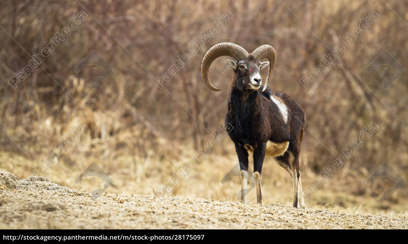 injured, mouflon, with, blood, on, head - 28175097