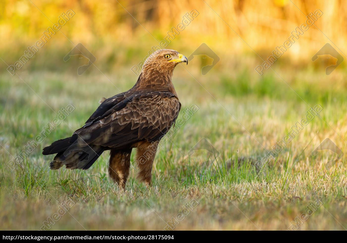 lesser, spotted, eagle, staring, alertly, on - 28175094
