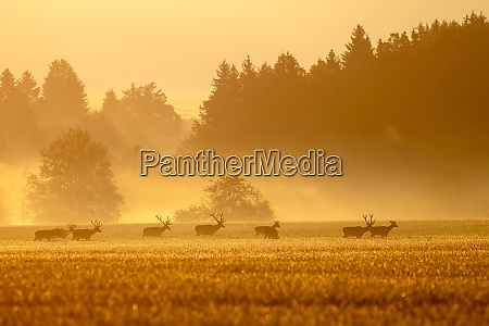 red, deer, herd, with, stags, on - 28175136