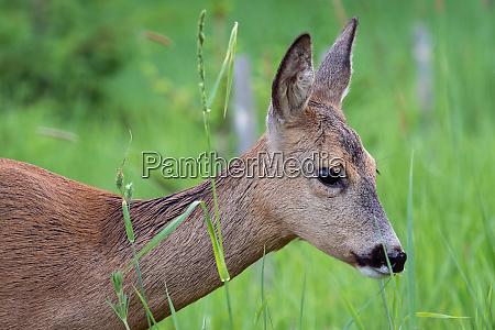 roe, deer, in, grass, , capreolus, capreolus. - 28175672