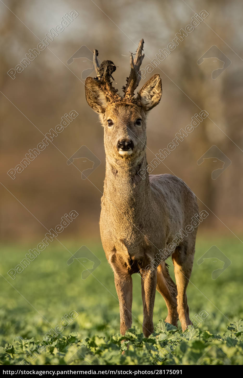 roe, deer, stag, at, sunset, with - 28175091