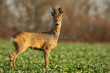 roe, deer, stag, at, sunset, with - 28175092