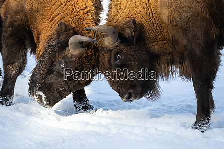 strong, bisons, fighting, on, snow, and - 28175100
