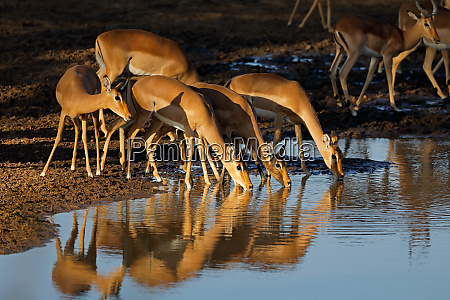 impala antelopes drinking water kruger