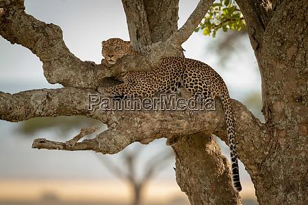 male leopard lying in tree resting