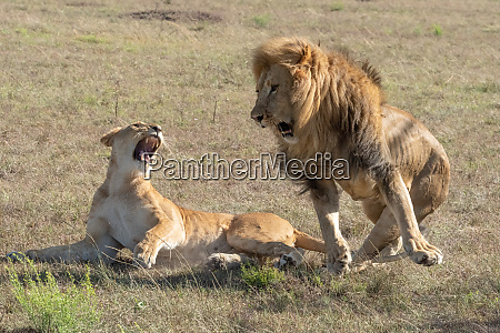 male lion jumping off female after