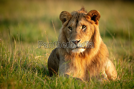 male lion lies in grass with
