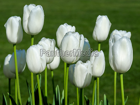 white tulips variety pax flowering in
