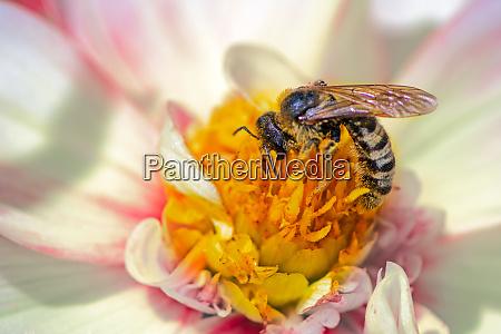 bee collection pollen on a dahlia