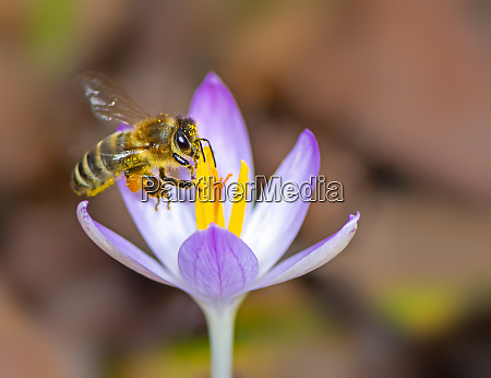 flying bee at a purple crocus