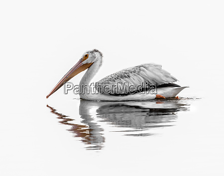 wildlife of colorado white pelican
