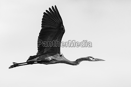 great blue heron in flight processed