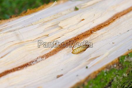 bark beetle pupae and galleries in