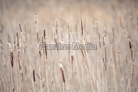 orange reeds in spring time