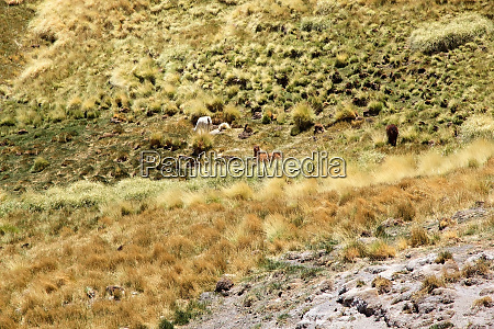 alpacas near the geyser of botijuela