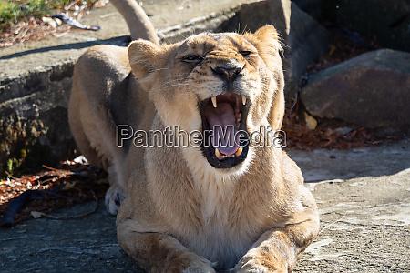 asiatic lioness panthera leo persica a