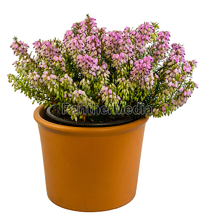 isolated potted winter flowering heather plant