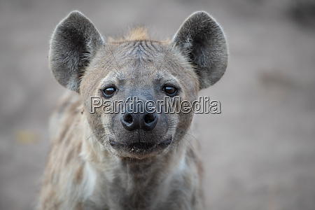 the head of a spotted hyena