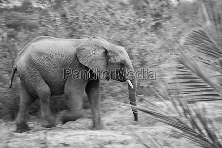 an elephant loxodonta africana walking motion