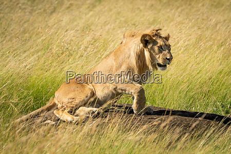 male lion lies on rock facing