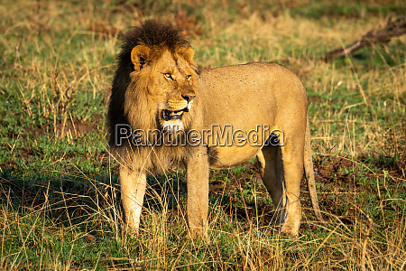 male lion standing in savannah staring