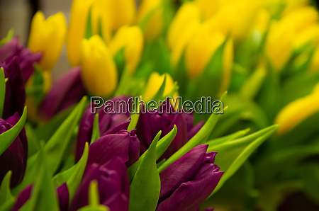 purple and yellow tulips greeting on