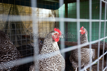 chickens behind the fence in a