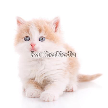 domestic cat portrait on a white