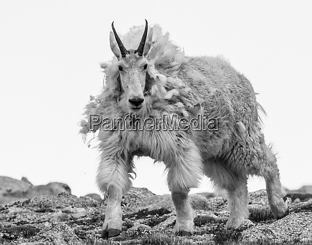 wild mountain goats of the colorado