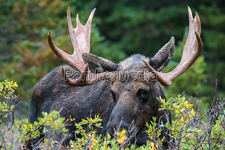shiras moose in the rocky mountains