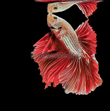 siamese fighting fish red fish black