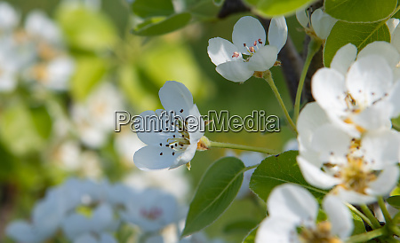 white pear and daisy flowers with